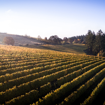 Rolling vineyard hills with trees.