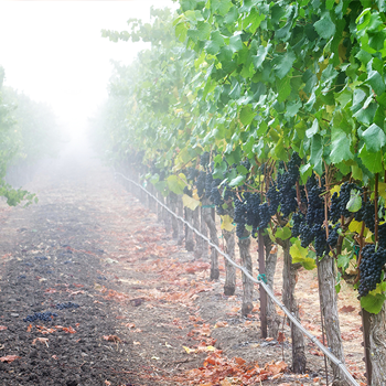 Close up of a fog covered grape vines.