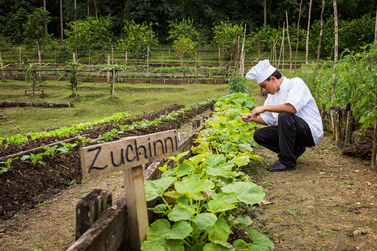 chef selecting zucchini from garden